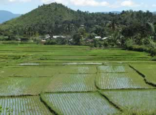 Ricefields planted using the SRI method